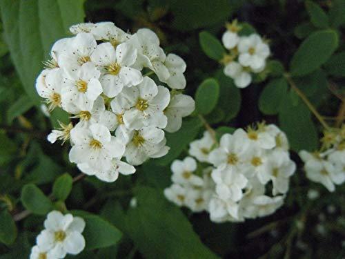 FERRY HOCH KEIMUNG Seeds Nicht NUR Pflanzen: Spiraea Arguta Brautkranz Staudengarten Bereit Samen Spirea