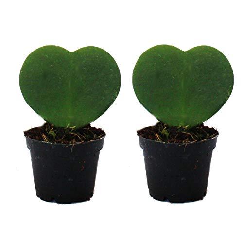 Set mit 2 Pflanzen Hoya kerii - Herzblatt-Pflanze, Herzpflanze oder Kleiner Liebling - im 6cm Topf