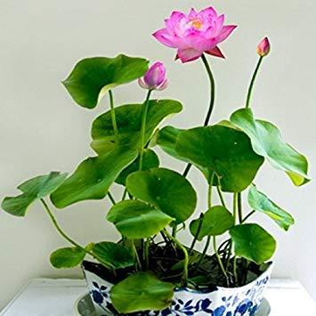 ASTONISH Erstauner SEEDS: 5: 10 PC/Satz Samen Bonsai B Seed hydroponischen Pflanzen Wasserpflanzen Blumensamen Topf Wasser-Lilien für Hausgarten 5