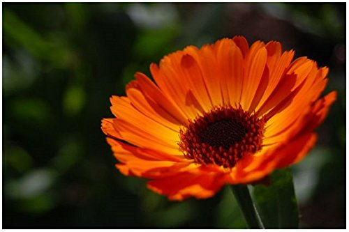Lot de 50 graines de Souci double de jardins grand Indian Price - plante annuelle