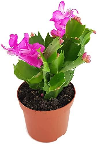 Fangblatt - Schlumbergera Esperito - Weihnachtskaktus mit pinken Blüten - hängender Kaktus - pflegeleichte Sukkuelnte