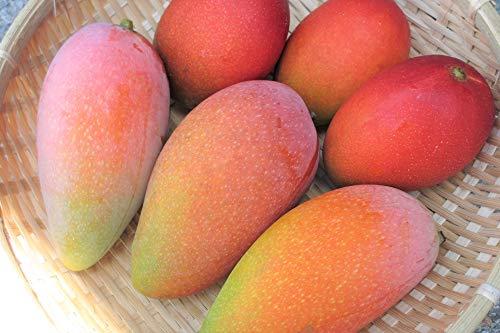 沖縄県産フルーツ アップルマンゴーB品(炭疽あり)2kg