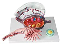 オルガンモデル 子宮3部品雌卵巣解剖学モデル生体システム解剖学的モデル 解剖学モデル