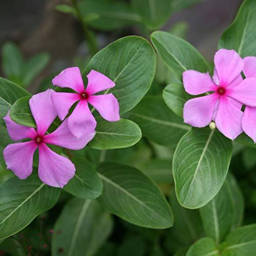 Etophigh Immergrün Samen Bodendecker Pflanze Blumensamen Mix GVO Erbstück Vinca Samen, 500 stücke samen