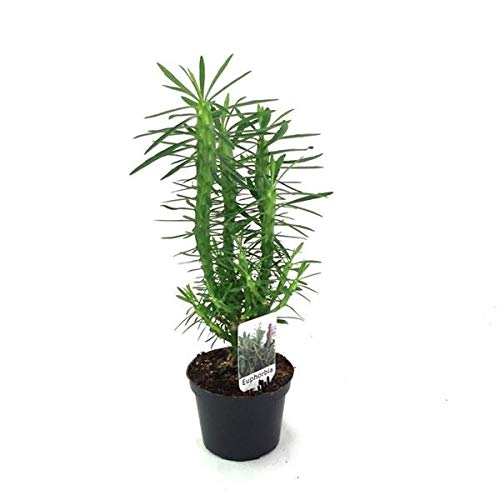 Euphorbia Loricata Succulent Plant in a 12cm Pot.