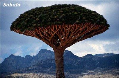 Dracaena arbre Graines, Arbre de sang (Dracaena draco), Graines rares Showy géant Fleur de cerisier Bonsai pot jardin Plantes 10 pièces 9