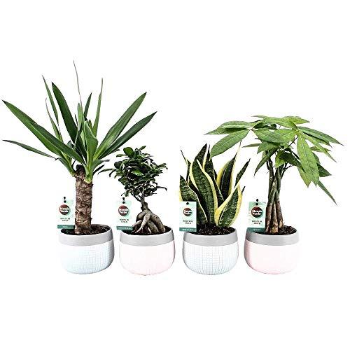 Luftreinigende Zimmerpflanzen Mix - Minz-Mosaik - 4er-Set - Luftreinigend - Easy to Care - Sanseveria, Ficus Bonsai, Pachira, Yucca