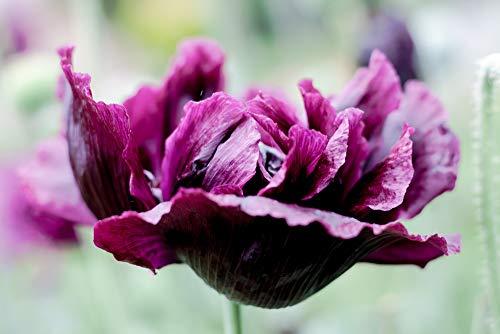 Mohn, Schlafmohn 'Black Paeony' Dunkler Mohn 50 Samen - Papaver somniferum (Poppy Black Peony)