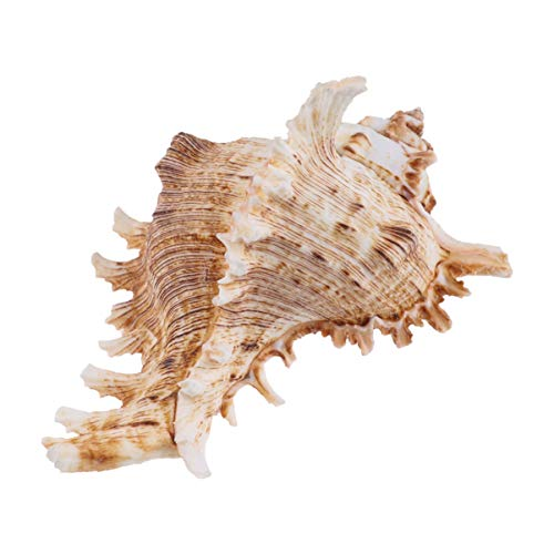 LIOOBO Concha de Mar Natural Concha de Mar Concha para Decoración de Boda Fiesta Temática de Playa Manualidades DIY Tanque de Peces Acuario Paisaje Ornamento 11-12 Cm