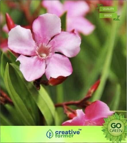 FERRY Hohe Wachstum Seeds Nicht NUR Pflanzen: Seed Nerium älterer -Kanher Seed (20 pro Paket)