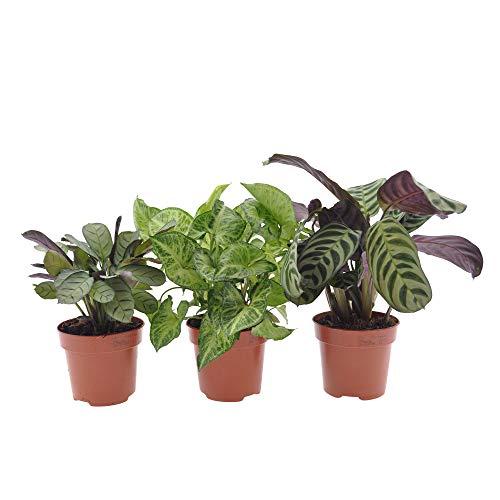 3x Indoor Grünpflanzen | 3er Set Blattschmuckpflanzen | Korbmarante, Purpurtute | Höhe 20-40cm | Topf Ø 12cm