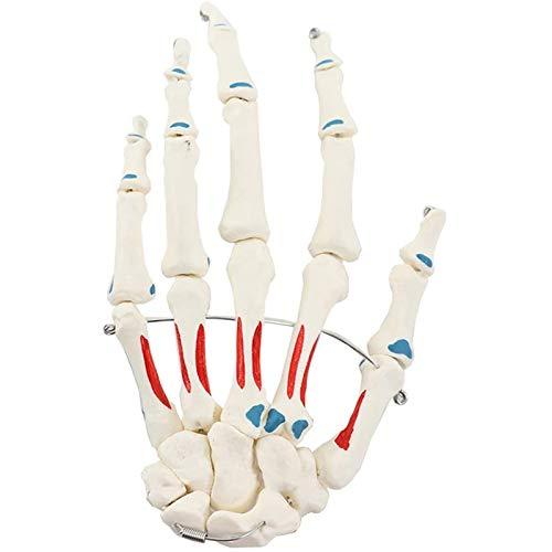 TKer Handgelenk Anatomisches Modell, Lebensgröße Handgelenks-Skelett-Modell Für Handgelenkstudien und medizinische Anatomie
