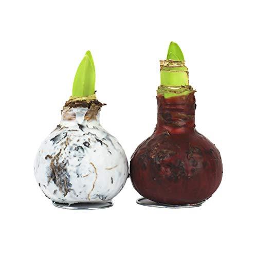Amaryllis Hippeastrum Wachs gewachst Rustikal/Wax - behandelte Blumenzwiebel - lange haltbar, pflegeleichte Zimmerpflanze-Geschenkidee im Set! Ritterstern Touch of Wax (1x Rot+1 Weiß)