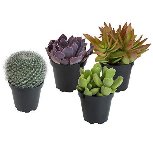 Pack 4 Cactus y Crasas Variados en Maceta Pequeño Kit Ahorro Plantas Naturales