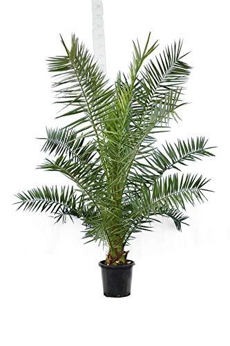 Kanarische Dattelpalme - Phoenix canariensis - Gesamthöhe 200+cm - Topf Ø 35cm
