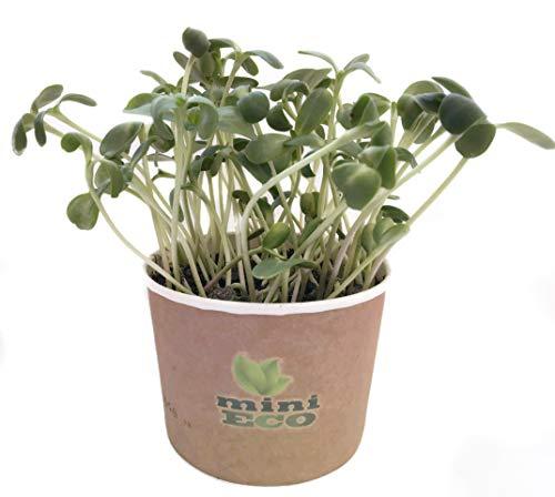 Tournesol Micro pousses Graine à Germer Bio. Environ 15g de Graines. Kit de Culture Germes. Plantules Cultiver Planter Plante Croissante Légume Semence Microgreens Compost