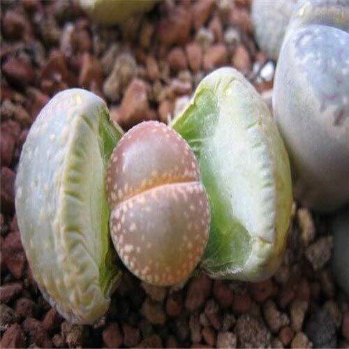 100 Stücke Lithops Samen, Hasenohren Stein Blumensamen, Bonsai Pflanzen Samen, Für Zuhause & Amp; Garten