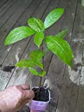 Sconosciuto Semi: 2-3 ft Alto Albero pianta Haas HASS Avocado in pentola