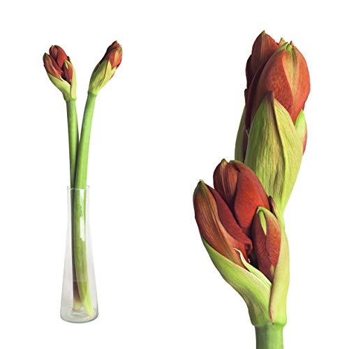 Echte Amaryllis Hippeastrum frische Schnittblumen - verschiedene Farben & Sets, riesige Blüten, pflegeleicht - prächtige Schnittblumen Ritterstern Blumen winterhart (3, Rot)