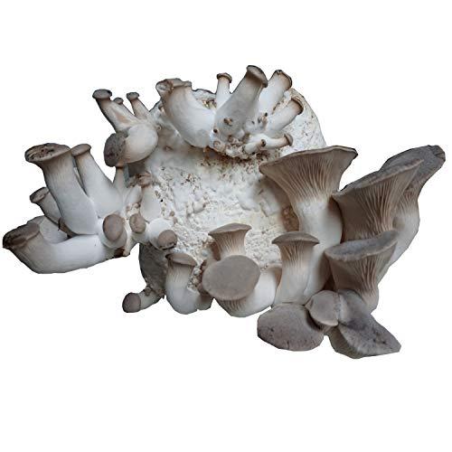 XXL BIO Kräuterseitling Zuchtset zum selber züchten I Hawlik Pilzbrut I DAS ORIGINAL I kinderleicht Bio Pilze züchten
