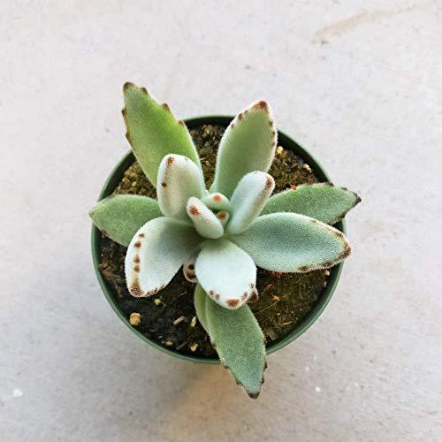 熊猫植物Kalanchoe 4''+粘土罐|
