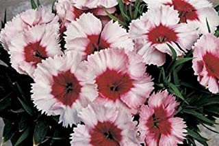 Toyensnow - Dianthus Parfait Super Strawberry Annual (25 Seeds)