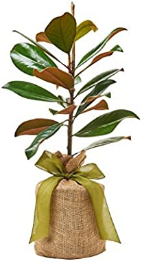 """Southern Magnolia Sympathy Gift Tree by The Magnolia Company - Get Beautiful and Fragrant Flowers on Lush""""in Memory"""""""