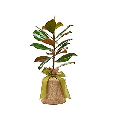 Southern Magnolia Sympathy Gift Tree by The Magnolia Company - Get Beautiful and Fragrant Flowers on Lush in Memory  Magnolia Tree Gift