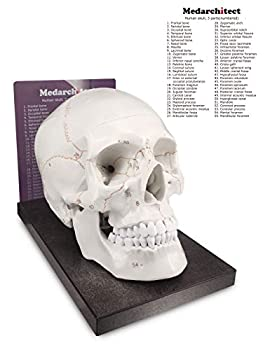 Best skull model labeled Reviews