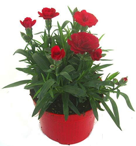 Dianthus caryophyllus rot- Teneriffa-Nelke Duftpflanze im 11 cm Topf winterharte Staude für Zimmer und Freiland