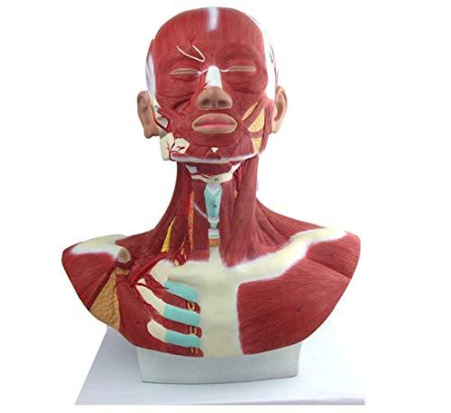 tjz Musculatura De Cabeza Y Cuello con Vasos Sanguíneos, El Cuello Y La Parte Superior del Pecho En Detalle Herramienta De Enseñanza Médica.