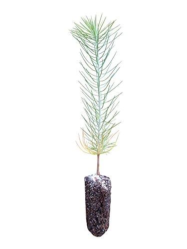 Ghost Pine | Live Tree Seedling (Medium) | The Jonsteen Company