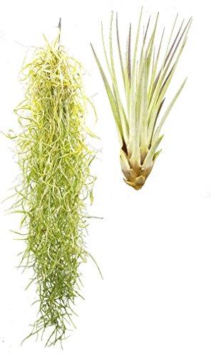 Tillandsien 2er XL Mix, Tillandsia usneoides, Tillandsia fasciculata, Bromeliengewächs