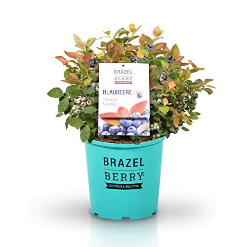 BrazelBerry 'Peach Sorbet' Blaubeere , farbiger Austrieb und Früchte mit tropischem Aroma , Heidelbeere , winterhart , Obst für Garten, Terrasse, Balkon oder Kübel