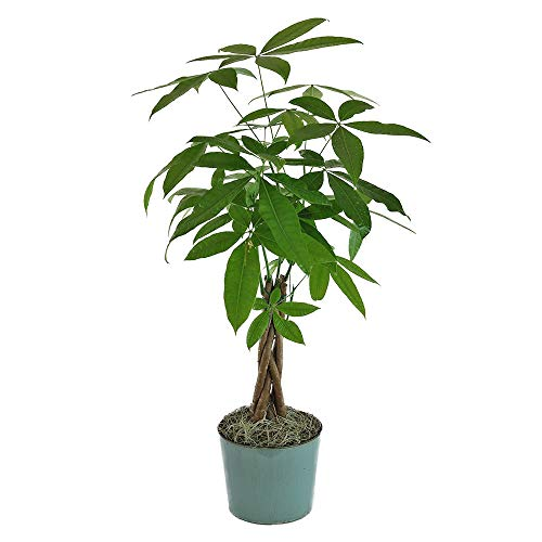 American Plant Exchange Money Tree Easy-to-Grow Live Plant, 4' Pot 1.5' Tall, Indoor/Outdoor Air Purifier