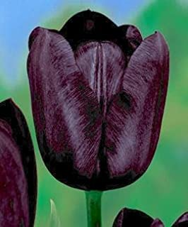 queen of the night tulip seeds
