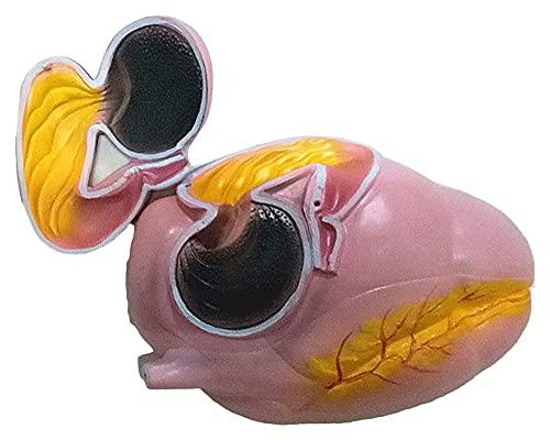 Modelo de anatomía de estómago de Vaca de tamaño Natural, órganos de Animales educativos para la enseñanza, educación, Ayuda para la enseñanza de la Escuela