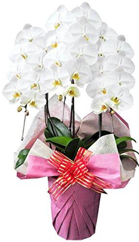 花由 産地直送 期日指定可 生花 胡蝶蘭 コチョウラン <30輪以上・3本立ち><白系>お祝い ギフト