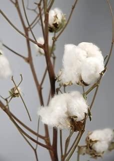 Richland Real Cotton Stalks 27
