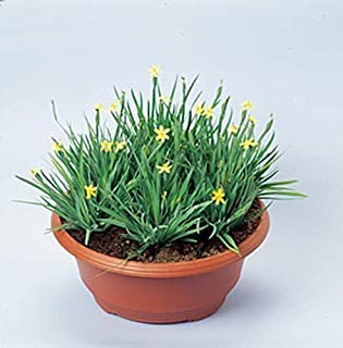 Sisyrinchium Californicum Yellowstone Perennial Seeds