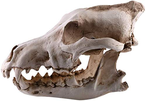 JJDSN Coyote Crneo Resina Modelo Realista Esqueleto Animal Lobo Crneo Estatuilla Estante Mesa Escritorio Decoracin Hogar Adorno para Fiesta Terrario Acuario