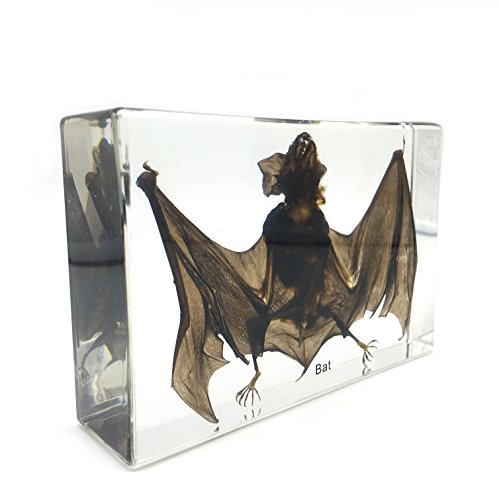 Taxidermy Real Bat Specimens Science Classroom Specimen for Science Education5.3x3.5x1.4 Inch