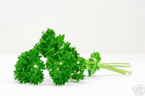 2350mg Frisé mousse persil Graines ~ cuisine Herb Spice Garden ~ Salades