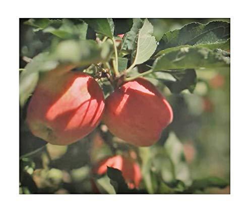 Stk - 1x Apfel Gala Malus Gala Frucht Baum Garten - Pflanze K-P383 - Seeds Plants Shop Samenbank Pfullingen Patrik Ipsa