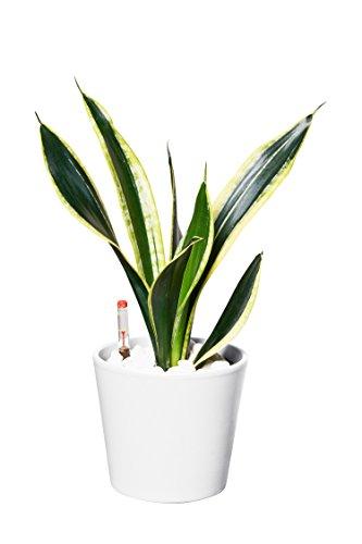 EVRGREEN | Zimmerpflanze Bogenhanf in Hydrokultur mit weißem Topf als Set | Schwiegermutterzunge | Sansevieria trifasciata Superba