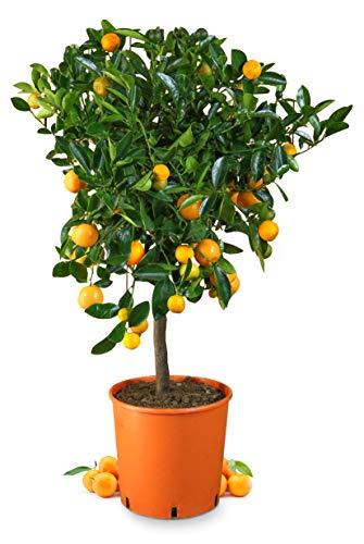 Meine Orangerie Calamondin Mezzo - veredelte Calamondin Orange im 6,5-Liter Topf - echter Citrusbaum - 80 bis 100 cm - Calamansi - fruchtreifer Zitrusbaum in Gärtnerqualität - Mini-Orangenbäumchen