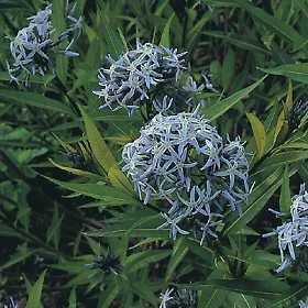 水甘草属狗牙花属蓝星100个种子