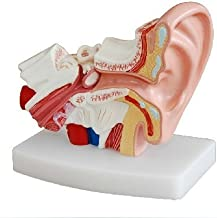 Doc.Royal Human Professional Desktop Ear Joint Simulation Model Medical Anatomy PVC Plastic Type DR-XF-102