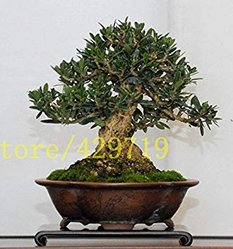 Vistaric 10 PZ Olivier bonsaï (Olea europaea) Graines, Bonsaï Mini Olivier rarebonsai Graines d'arbre pour Jardin de Maison Cadeau en Bureau
