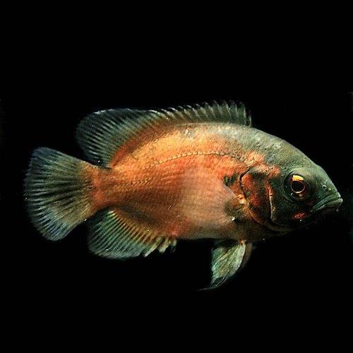 (熱帯魚)レッドオスカー(約4cm)(1匹)[生体]